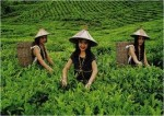 Sabah Tea 2
